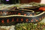 Thamnophis sirtalis concinnus male
