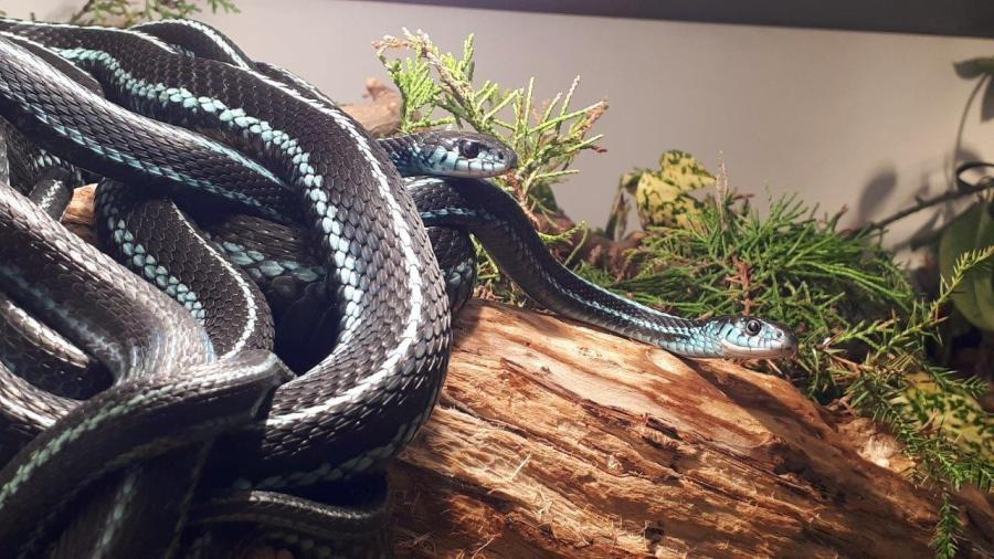 Puget Sound Garter Snake (Thamnophis sirtalis pickeringii)