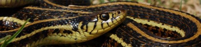 Thamnophis-eques-eques