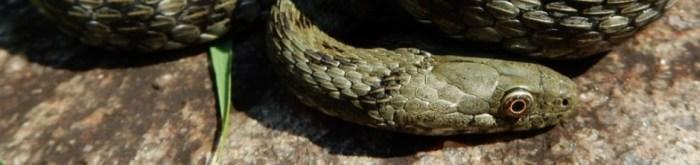 Natrix tessellata * - Dice Snake