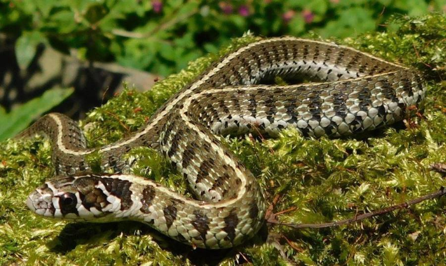 Thamnophis scaliger from the state Michoacán