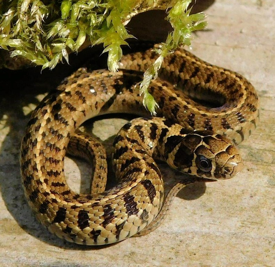 Thamnophis scaliger babies