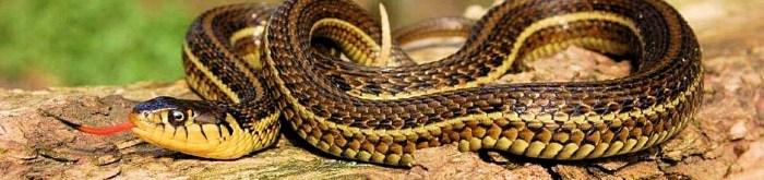 Thamnophis eques patzcuaroensis- Lake Pátzcuaro Garter Snake