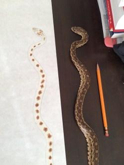 Snake dark spots