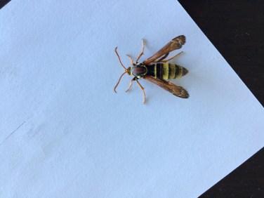 Wasp moth 2