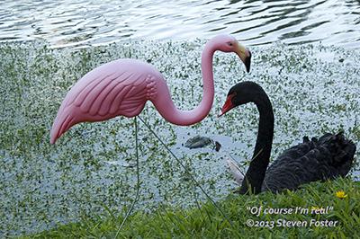 Flamingo meets Swan
