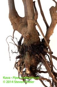 Kava root, kava-kava root, Piper methysticum root