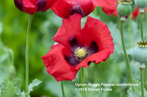 Opium poppy, Papaver sominferum in bloom