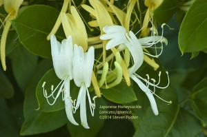 Japanese honeysuckle, to some a weed, to me a medicinal plant.
