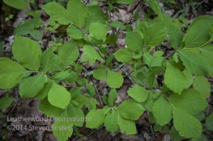 Leatherwood, Dirca palustris