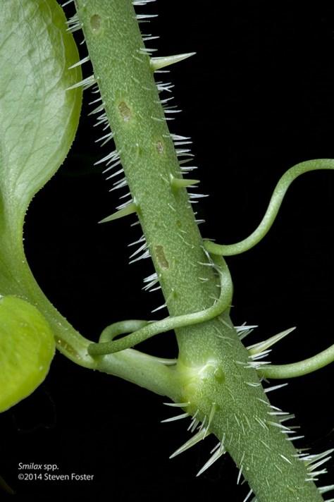 Smilax hispida. Note the irregular small teeth on leaf edge.