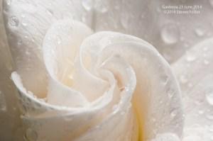 Gardenia-062314_DSC3596