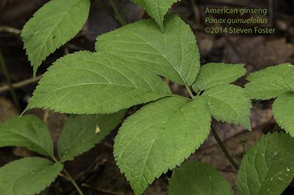 American ginseng, Panax quinquefolius