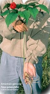 Panax quinquefolius, American ginseng; 西洋参; xi yang shen