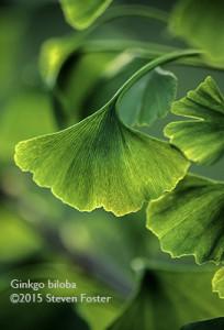 Ginkgo leaf; Ginkgo biloba; Ginkgo leaf close-ups horizontal (landscape) aspect