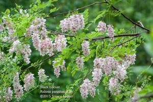 Black Locust, Robinia pseudoacacia