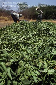 Passiflora incarnata, Passionflower herb production in Guatemala