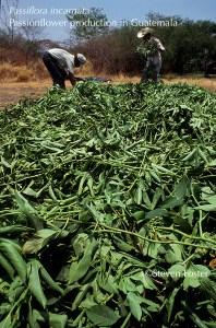 Passiflora incarnata, Passionflower herb production in Guatemala