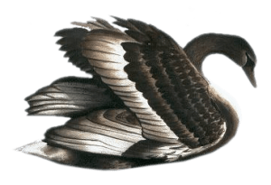 black swan global media