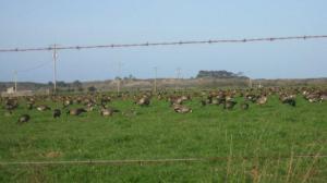 Aleutian geese