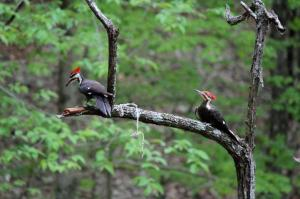 Pileated woodpecker photo by Keith Jackson