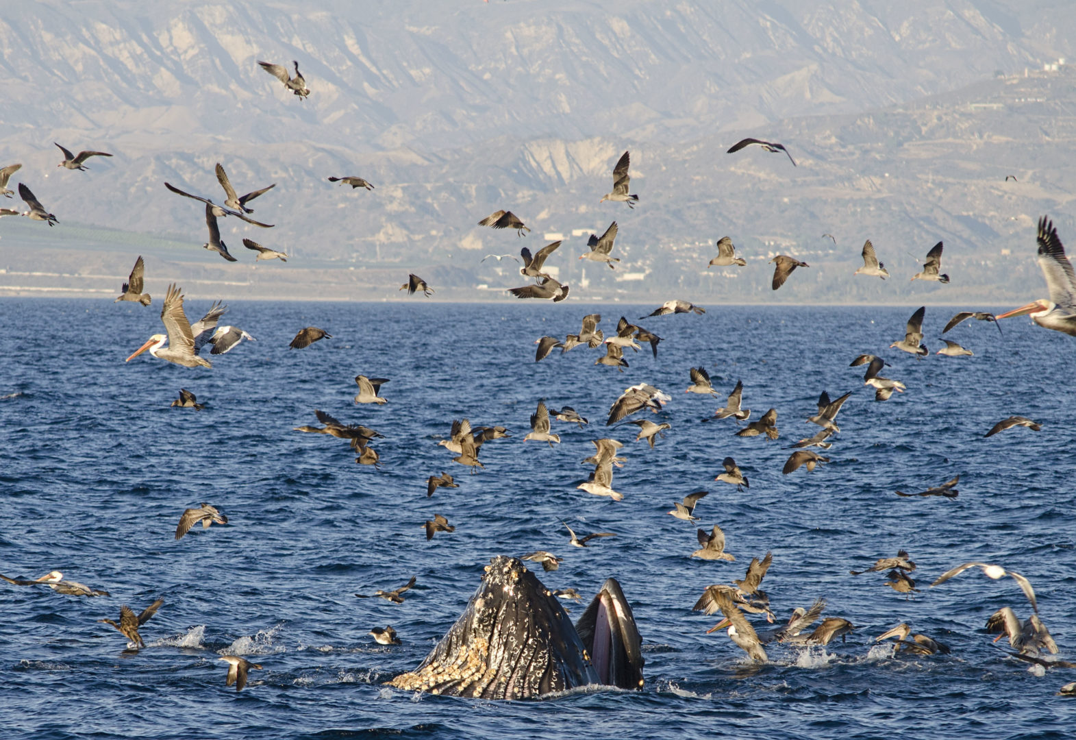 Photo of Humpback Whale Feeding in Santa Barbara Channel