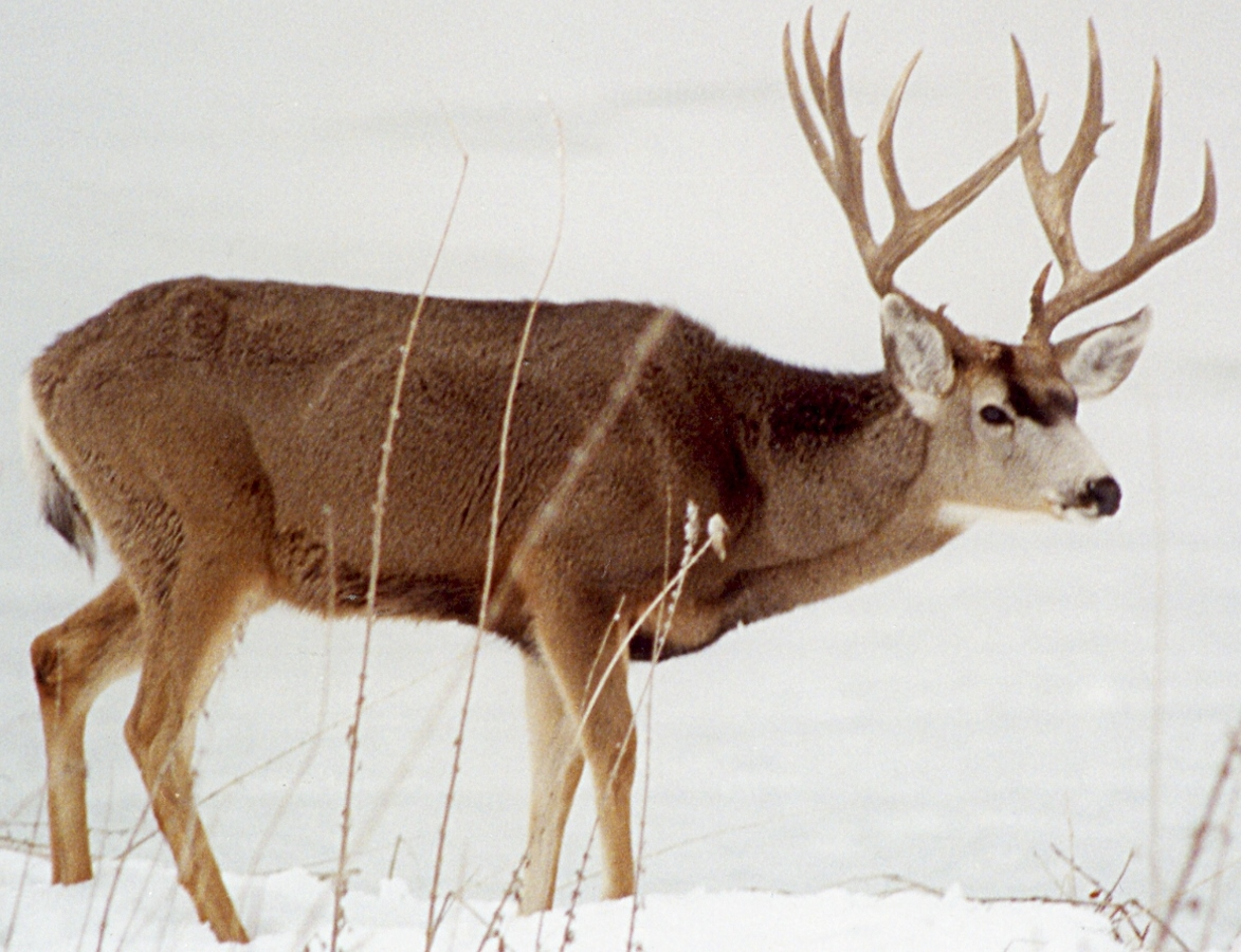 Photo of Rocky Mountain mule deer, taken by Steve Guill at Tule Lake National Wildlife Refuge