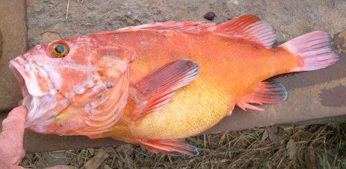 Yelloweye Rockfish