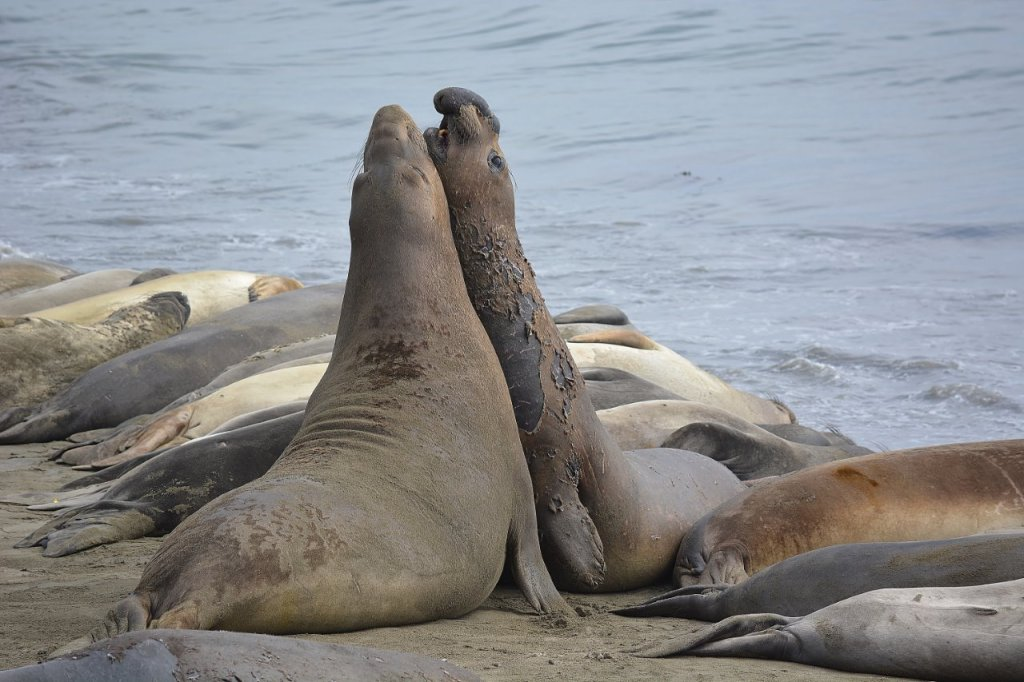 Subadult male elephant seals posturing at Piedras Blancas
