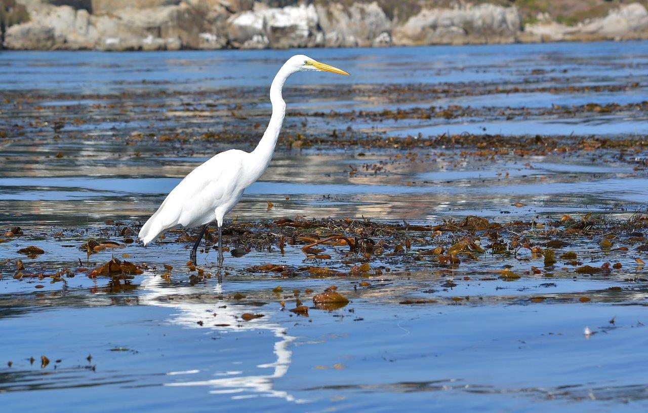 Great egret feeding on small fish and snails in kelp beds off Lovers Point, Pacific Grove, California