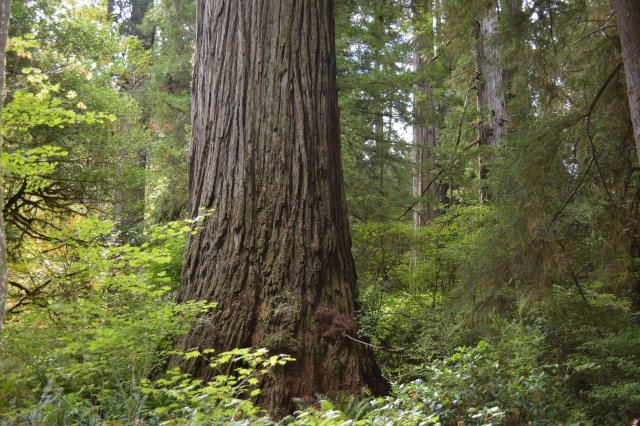 One of the largest trees on Earth: Old-growth redwood in Jedediah Smith Redwoods State Park, California