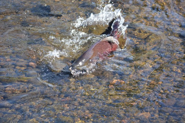 Photo of spawning male Chinook salmon by Steven T. Callan