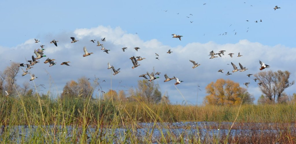 Waterfowl at Sacramento National Wildlife Refuge