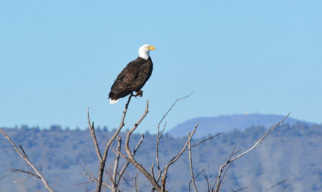 Mature bald eagle at Lower Klamath National Wildlife Refuge