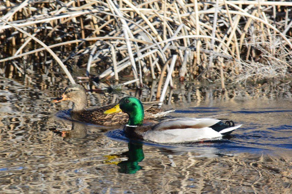 Mallard pair at Lower Klamath National Wildlife Refuge