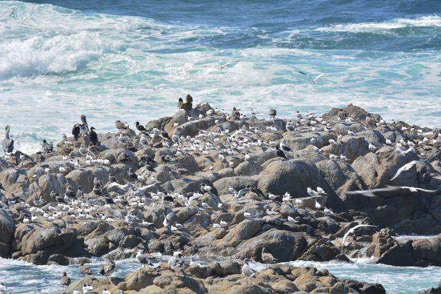 Elegant terns congregating on rocks near Asilomar. Photo by Steven T. Callan