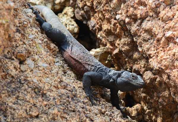 An adult chuckwalla sunning itself at Joshua Tree National Park. Once exploited for the pet trade, native reptiles, like the chuckwalla, may no longer be sold in California.