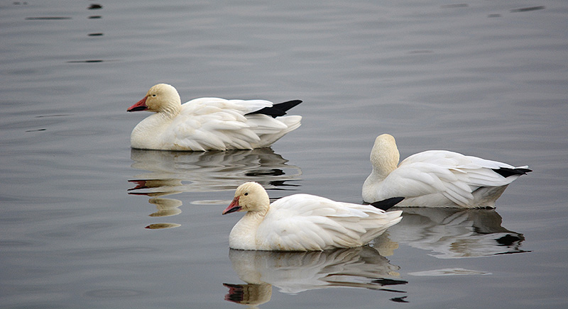 Lesser snow geese at Sacramento National Wildlife Refuge. Photo by Steven T. Callan