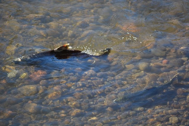 Pair of Chinook salmon in riffle downstream from the Coleman National Fish Hatchery weir. Many salmon are in advanced stages of decomposition by the time they reach their spawning waters in Battle Creek. Photo by Author Steven T. Callan.