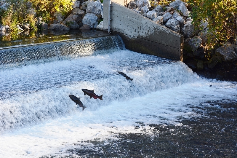 Fall-run Chinook salmon attempting to navigate the Coleman National Fish Hatchery weir. Photo by Author Steven T. Callan
