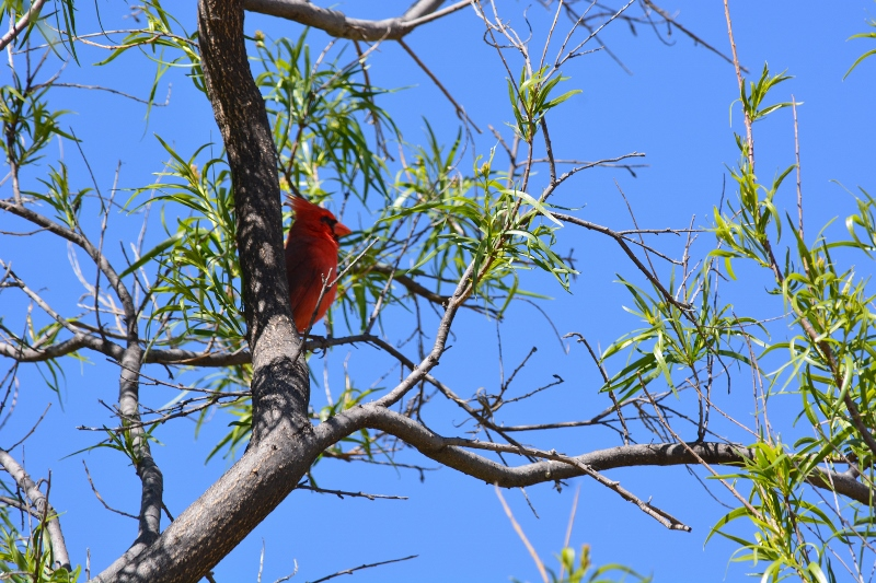 Northern cardinal perched in a tree. Photo by Steven T. Callan.