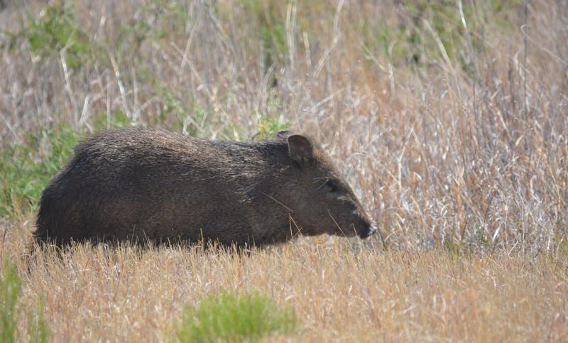 Javelina retreating into mesquite thicket. Photo by Steven T. Callan.