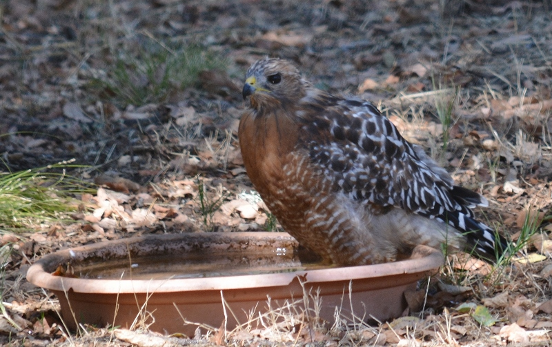 This red-shouldered hawk is escaping the summer heat in one of many water sources we've placed around the island. Photo by Steven T. Callan.