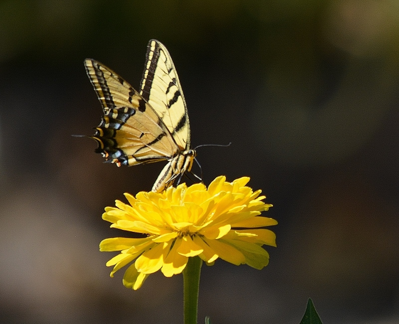 Caption: Plant wildlife-friendly flowers and they will come: swallowtails, buckeyes, monarchs, skippers, fritillaries, painted ladies, California sisters, mourning cloaks, . . . Photo by Steven T. Callan.