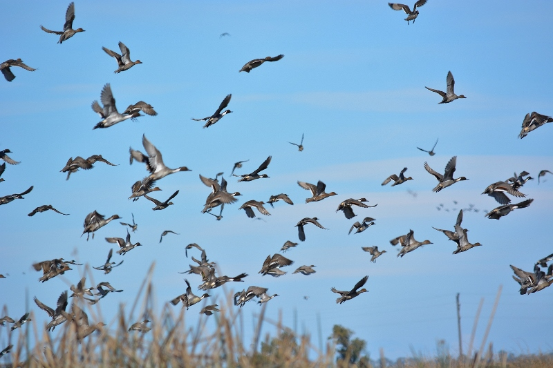 Pintails in flight at the Sacramento National Wildlife Refuge. Photo by Steven T. Callan.