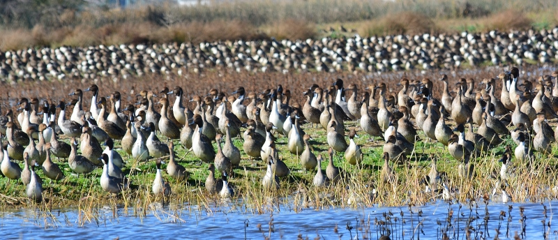 Pintails on the alert at the Sacramento National Wildlife Refuge. Photo by Steven T. Callan.