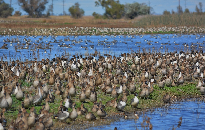 Pintail drakes in a sea of hens at the Sacramento National Wildlife Refuge. Photo by Steven T. Callan.