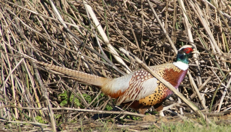 Ring-necked pheasants were plentiful in and around the rice fields of Butte County during the 1950s.