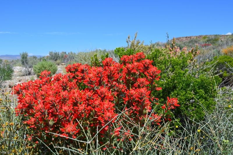 Desert paintbrush decorate the landscape at Fish Slough. Photo by Steven T. Callan.