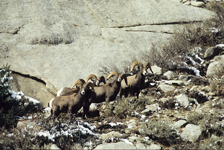 A band of Sierra Nevada bighorn rams. Photo by retired Fish and Wildlife Lieutenant Art Lawrence.
